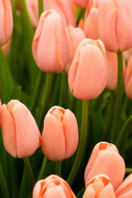 Tulip 'Menton' (Single Late Group). A tall, coral-pink tulip first raised in 1971 by W. Dekker & Sons.