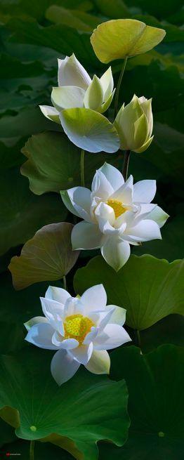 white lotus 2