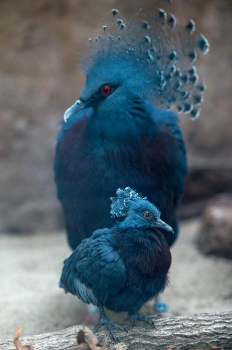 crowned pigeon 21