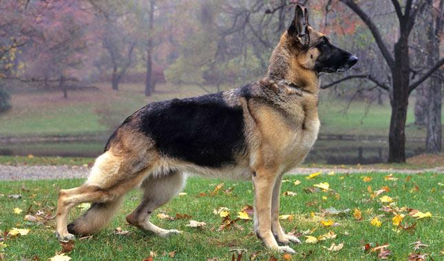 German-Shepherd-2-645mk062411