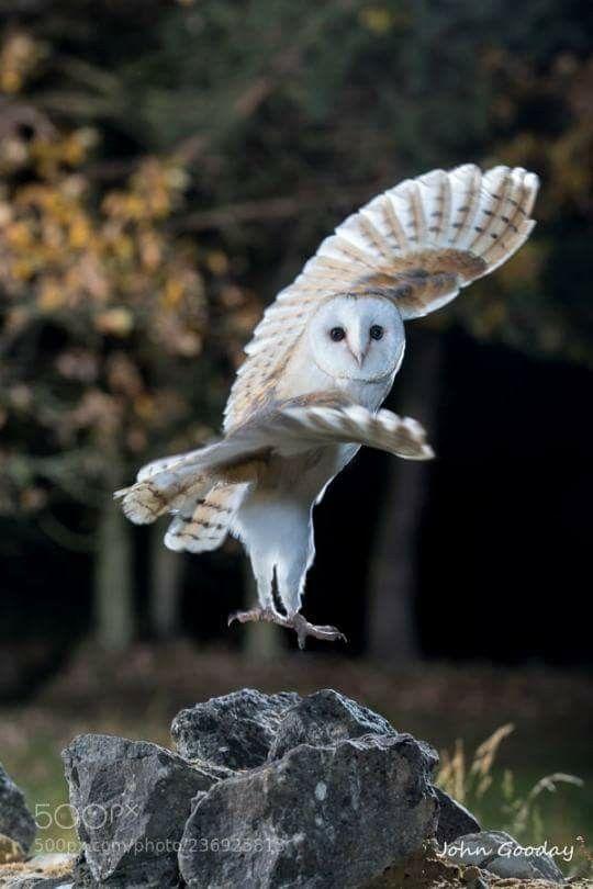 The Karate Owl