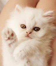 6-102761-kitten-waving-2-1431447519