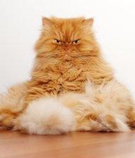 6-102769-persian-cat-sitting-like-a-human-2-1431447519