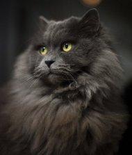6-102771-persian-cat-2-1431447518